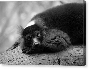 Resting Lemur Canvas Print