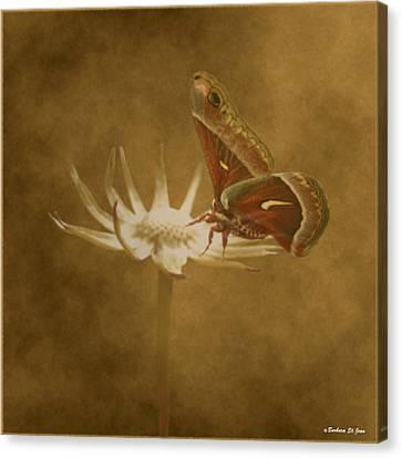 Resting Moth Canvas Print