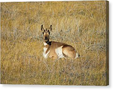 Resting Pronghorn Canvas Print by Sarah Crites
