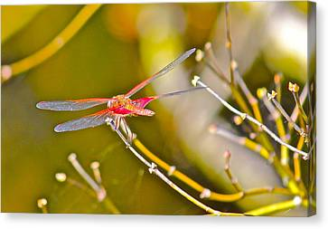 Resting Red Dragonfly Canvas Print by Cyril Maza
