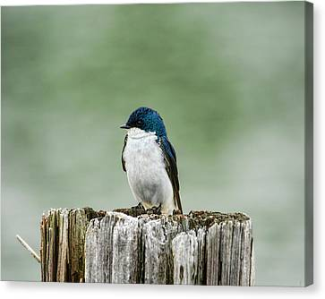 Resting Swallow Canvas Print by Jai Johnson