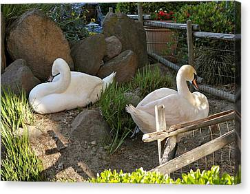 Canvas Print featuring the photograph Resting Swan Mates by Michele Myers