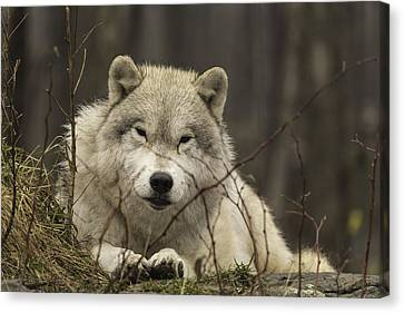 Resting Wolf Canvas Print by Josef Pittner