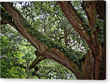 Canvas Print featuring the photograph Resurrection Fern by Linda Brown