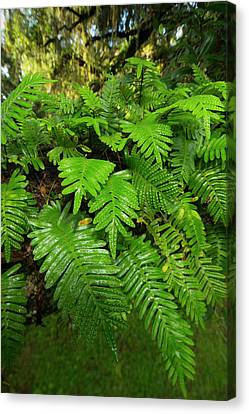 Resurrection Fern, Pleopeltis Canvas Print by Maresa Pryor