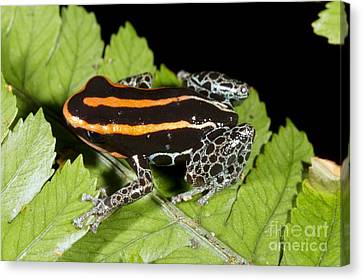 Bromeliad Canvas Print - Reticulated Poison Frog by Dr Morley Read