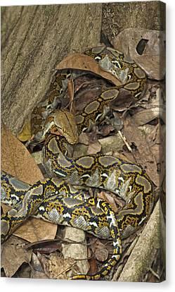 Reticulated Python Canvas Print