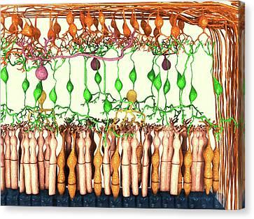 Retina Cell Layers Canvas Print by Juan Gaertner