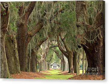 Retreat Avenue Of The Oaks Canvas Print by Adam Jewell