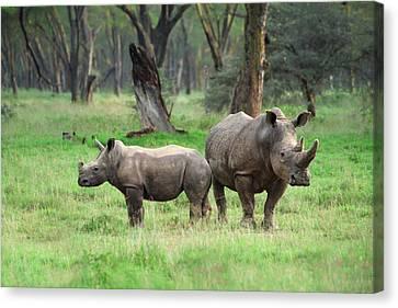 Rhino Family Canvas Print by Sebastian Musial
