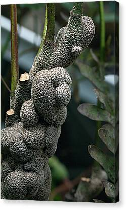 Rhizomes Of Antfern Lecanopteris Canvas Print by Dirk Wiersma