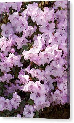 Rhodendron Permakoense Flowers Canvas Print