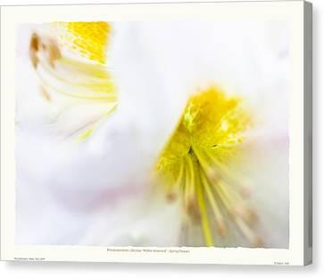 Rhodendron 'walter Maynard' - Spring Flowers Canvas Print by Saxon Holt