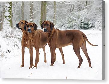 Rhodesian Ridgebacks In Snow Canvas Print by John Daniels