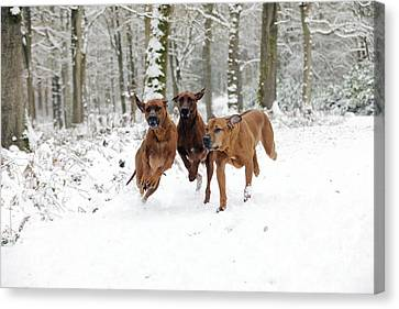 Rhodesian Ridgebacks Running Canvas Print by John Daniels