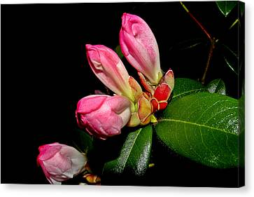 Rhododendron Buds Canvas Print by Brian Chase