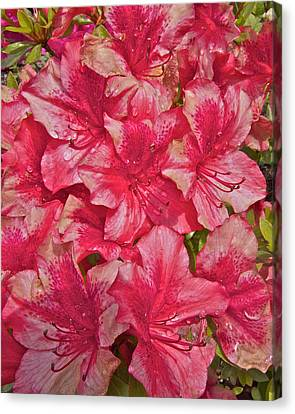 Canvas Print featuring the photograph Rhododendron Closeup by Todd Kreuter