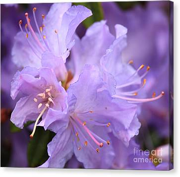 Rhododendron Flower Canvas Print