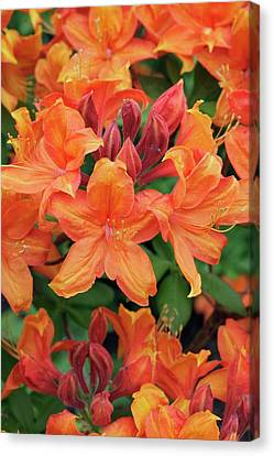 Rhododendron 'golden Eagle' Canvas Print by Geoff Kidd
