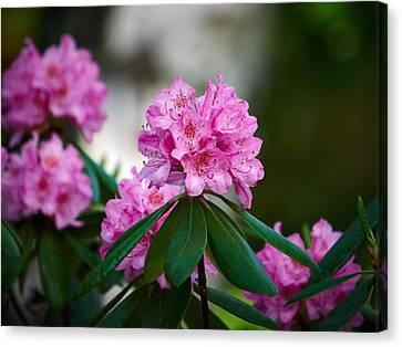 Rhododendron Canvas Print by Jouko Lehto