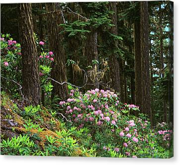 Rhododendrons And Trees, Washington Canvas Print by Randy Green