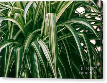 Ribbon Grass Canvas Print