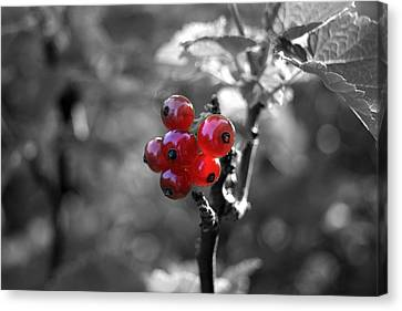 Ribes Canvas Print by Adam  S