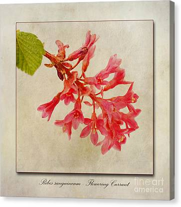 Ribes Sanguineum  Flowering Currant Canvas Print by John Edwards