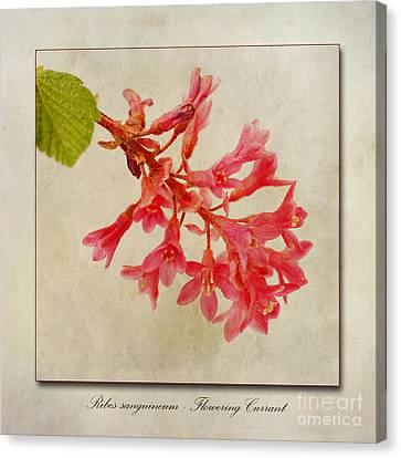 Ribes Sanguineum  Flowering Currant Canvas Print