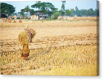 Rice Crops Harvested Canvas Print by Ashley Cooper