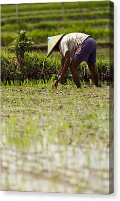Rice Farmer - Bali Canvas Print by Matthew Onheiber