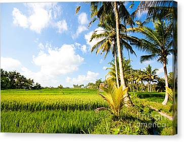 Canvas Print - Rice Paddy Fields In Ubud Bali Indonesia by Fototrav Print