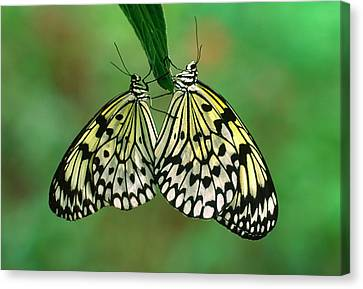 Rice Paper Butterflies Mating Canvas Print by Nigel Downer