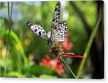 Rice Paper Butterfly (idea Leuconoe Canvas Print by Chuck Haney
