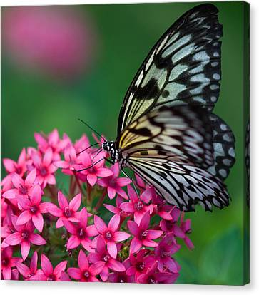 Rice Paper Butterfly Canvas Print by Joann Vitali