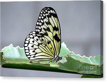 Rice Paper Butterfly On A Leaf Canvas Print by Inspired Nature Photography Fine Art Photography