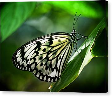 Canvas Print featuring the photograph Rice Paper Butterfly by Zoe Ferrie