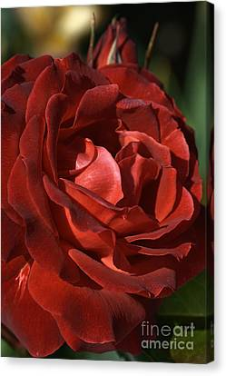 Canvas Print featuring the photograph Rich Is Rose by Joy Watson