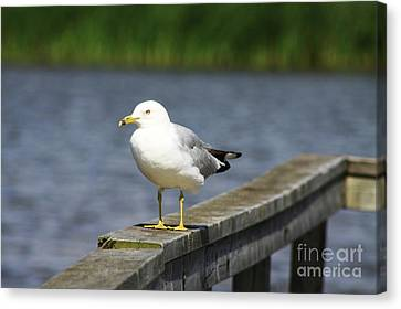 Ring-billed Gull Canvas Print by Alyce Taylor