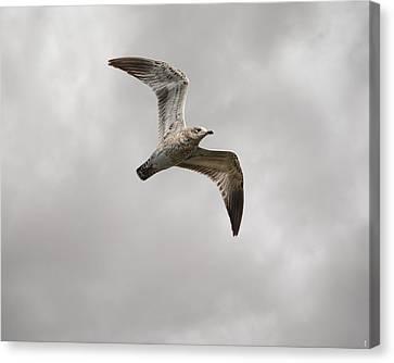 Ring Billed Gull At Reelfoot Canvas Print