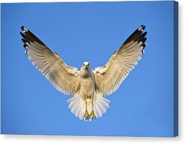 Ring Billed Gull Larus Delawarensis Canvas Print