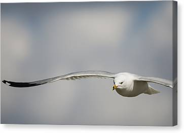 Ring Billed Gull On A Mission Canvas Print