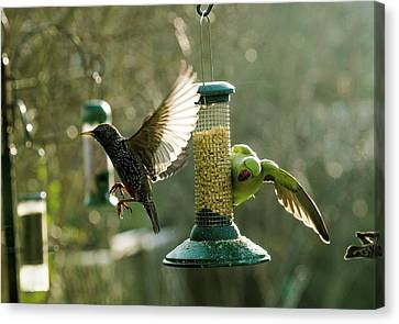 Ring-necked Parakeet Canvas Print by Georgette Douwma