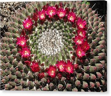 Ring Of Red Cactus Flowers Canvas Print by Mark Barclay