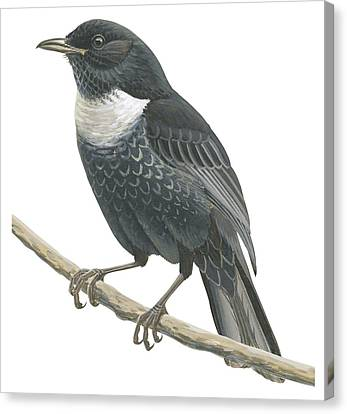 Ring Ouzel  Canvas Print by Anonymous