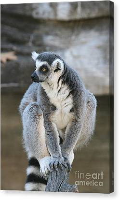 Canvas Print featuring the photograph Ring-tailed Lemur #3 by Judy Whitton