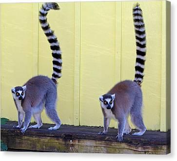 Ring-tailed Lemurs Canvas Print by Cynthia Guinn