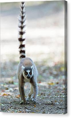 Ring-tailed Lemur Canvas Print by Dr P. Marazzi