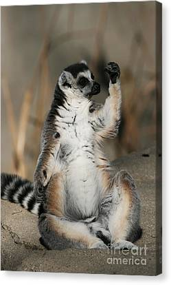 Canvas Print featuring the photograph Ring-tailed Lemur by Judy Whitton