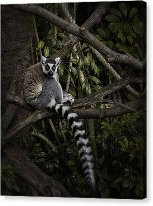Canvas Print featuring the photograph Ring Tailed Lemur by Kim Andelkovic